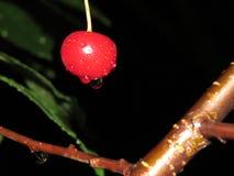 Czerwone wiśnie z tyłu drzewa zdjęcia stock