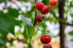czerwone wiśniowe drzewo obraz royalty free