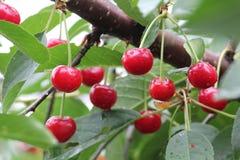 Czerwone wiśnie na drzewie Zdjęcia Stock