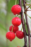 Czerwone wiśnie na drzewie Zdjęcia Royalty Free