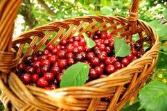 Czerwone wiśnie w koszu Zdjęcia Stock
