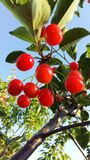 czerwone wiśniowe drzewo Obraz Stock