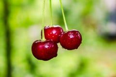 czerwone wiśniowe drzewo zdjęcia stock