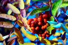 Czerwone wiązki Rowan w jesieni Obrazy Royalty Free