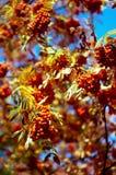Czerwone wiązki Rowan w jesieni 4 Obraz Stock