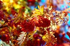 Czerwone wiązki Rowan w jesieni 3 Zdjęcie Royalty Free