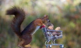 Czerwone wiewiórki z wózek na zakupy Zdjęcia Royalty Free