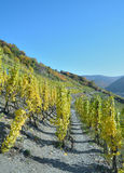 Czerwone Wino Wycieczkuje ślad, Ahr, Palatinate, Niemcy Zdjęcie Royalty Free