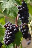 czerwone wino z winogron Zdjęcia Stock