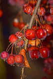 Czerwone zim jagody, ciemnili ale wciąż zostają bardzo pięknymi i spalony od zimna, fotografia royalty free