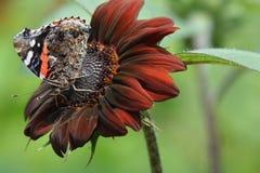 Czerwonego admiral motyl na czerwonym słoneczniku Obraz Royalty Free