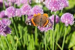 Czerwonego admiral motyl na szczypiorku okwitnięciu makro-, dorsalny, zdjęcia stock