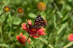 Czerwonego admiral Vanessa motyli atalanta umieszcza? na Fireweel Indina galardii Powszechnym kwiacie obraz stock