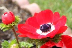 Czerwonego Anemonowego coronaria kwiatu czerwony biel Fotografia Stock