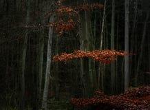Czerwonego buku liście między nagimi drzewami i bagażnikami w ciemnym lesie, sezonowy natura krajobraz z kopii przestrzenią zdjęcie royalty free