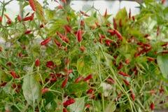 Czerwonego Capsicum annuum grupa z zielonym liściem obraz stock