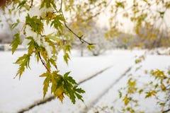 Czerwonego dębu gałąź z liśćmi i śniegiem Obrazy Royalty Free