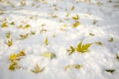 Czerwonego dębu liście na śniegu Fotografia Stock