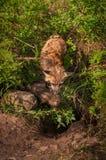 Czerwonego Fox lisic Vulpes vulpes Z zestawów spojrzeniami W melinę Obrazy Royalty Free