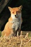 Czerwonego Fox lisicy Fotografia Royalty Free