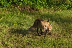 Czerwonego Fox lisicy i zestawów bieg Naprzód (Vulpes vulpes) Zdjęcie Stock