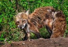 Czerwonego Fox lisicy Patrzeją Up od głębienia przy meliny miejscem (Vulpes vulpes) Zdjęcia Royalty Free