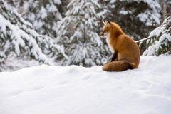 Czerwonego Fox obsiadanie w ?niegu zdjęcia stock