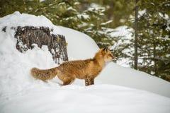 Czerwonego Fox odprowadzenie Przez śniegu Obraz Stock
