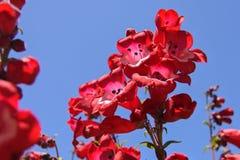 Czerwonego Fox rękawiczki kwitnienie Obraz Stock