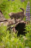 Czerwonego Fox Vulpes vulpes zestawów spotkanie na beli Obraz Stock