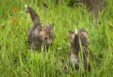Czerwonego Fox Vulpes vulpes zestawów spotkanie w trawie Zdjęcia Royalty Free