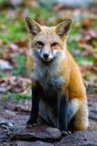 Czerwonego Fox warknięcie Fotografia Royalty Free