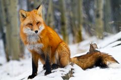 Czerwonego Fox Yukon terytorium Kanada zdjęcie stock