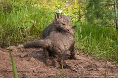 Czerwonego Fox zestawów Vulpes vulpes spór Fotografia Royalty Free