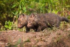 Czerwonego Fox zestawów Vulpes vulpes spacer Opuszczać Zdjęcie Royalty Free