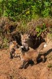 Czerwonego Fox zestawów Vulpes vulpes gromadzenie się przy meliną Zdjęcie Royalty Free
