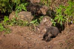Czerwonego Fox zestawów Vulpes vulpes menda z meliny Fotografia Stock