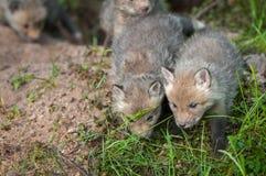 Czerwonego Fox zestawów Vulpes vulpes spacer Naprzód Zdjęcia Stock