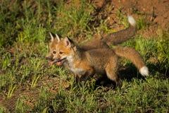 Czerwonego Fox zestawów Vulpes vulpes stojak Wpólnie Zdjęcie Royalty Free