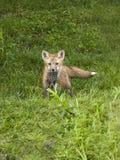 Czerwonego Fox zestaw Zdjęcie Stock