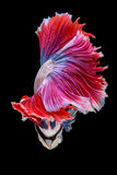 Czerwonego i białego ogonu boju siamese ryba przyrodnia księżyc, betta ryba Obraz Royalty Free