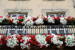 Czerwonego i białego kwiatu pokaz Zdjęcia Royalty Free