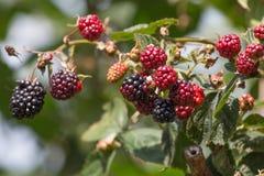 Czerwonego i ciemnego czerni jagody zdjęcie royalty free