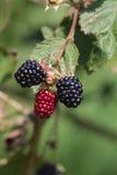 Czerwonego i ciemnego czerni jagody zdjęcie stock