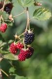 Czerwonego i ciemnego czerni jagody obrazy stock