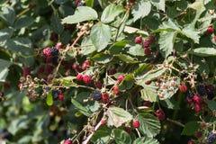 Czerwonego i ciemnego czerni jagody zdjęcia stock