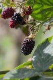 Czerwonego i ciemnego czerni jagody obraz royalty free