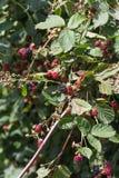 Czerwonego i ciemnego czerni jagody obrazy royalty free