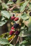 Czerwonego i ciemnego czerni jagody zdjęcia royalty free