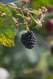 Czerwonego i ciemnego czerni jagody obraz stock